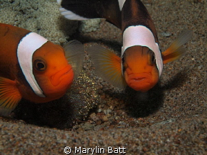Clownfis protecting their eggs. by Marylin Batt 